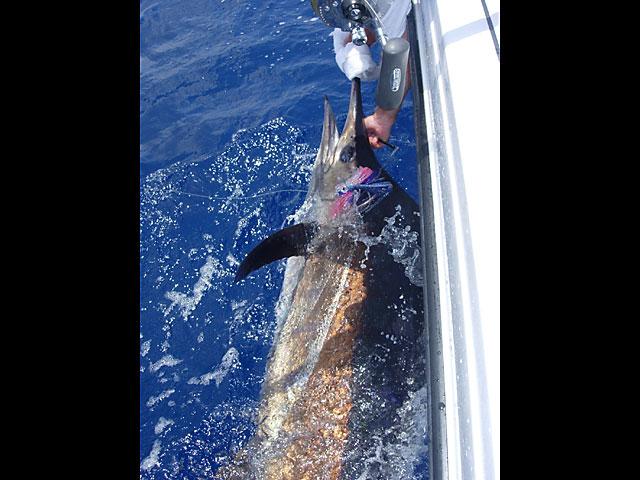 17.blue-marlin.18.2007