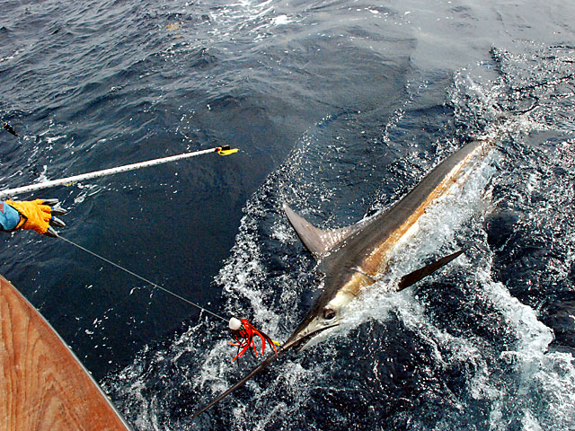 2008.Blue-Marlin.Brutus.19