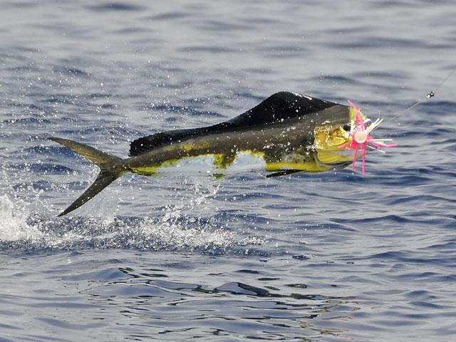 2008.Bull-Dolphin.Bullwinkl.17