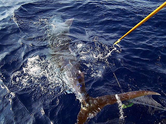 22.blue-marlin.brutus.2007