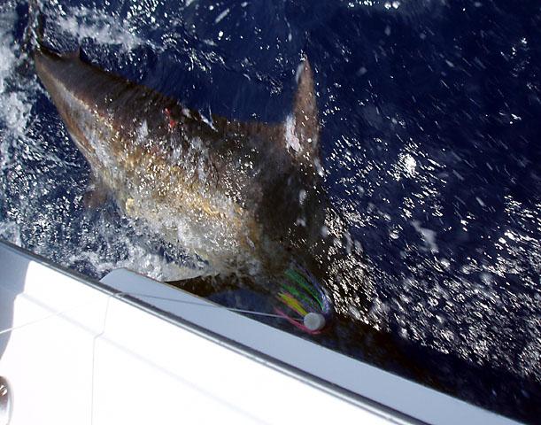 33.blue marlin.brutus.2007