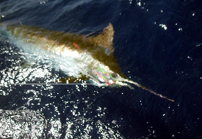 34.blue marlin.baby brutus.2007