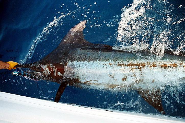 Recapture Blue Marlin May 20 2005 2