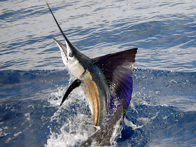 5_2010_CR_Sailfish_Lena