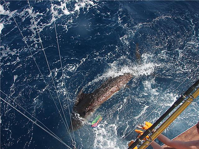 6_2010_Panama-Sailfish_Ursa
